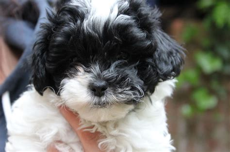 shih poo puppies for sale shih poos for sale at glamorous pooch breeds picture