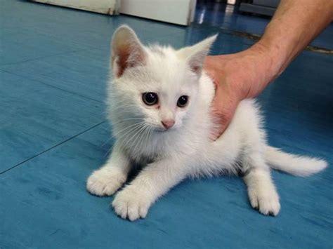gatti persiani bianchi 249 e ginevra due piccole palline bianche cn occhi