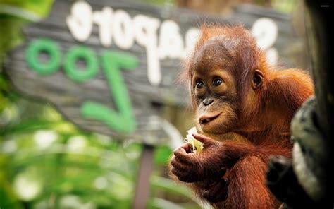 baby baby baby baby orangutan wallpaper wallpapersafari