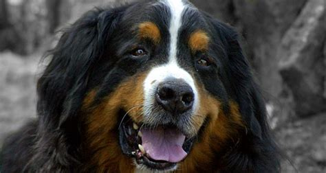 bernese mountain breed history and some interesting facts stop my digging holes garden info dogs health bernese mountain cool facts