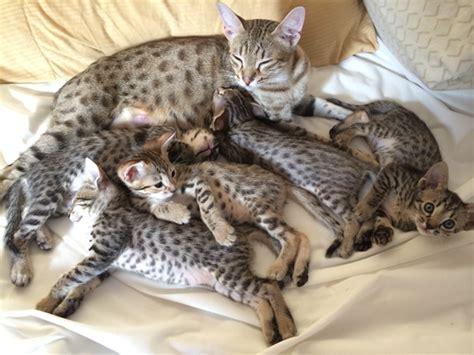 savannah kittens for sale about savannahs savannah 7 สายพ นธ แมว ส ดแพง ท ทาสแมวต องกระเป าฉ ก