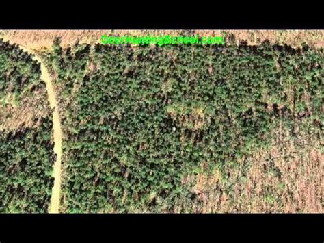 how to find deer bedding areas how to find deer deer bedding areas in pine thickets