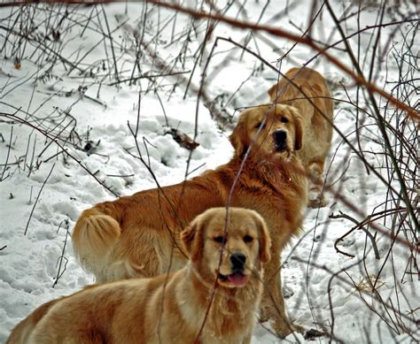 golden retriever club of 2017 golden retriever club of america price pictures images wallpapers