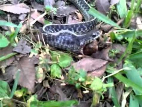 i found a frog in my backyard snake spits out a frog in my yard yuck youtube