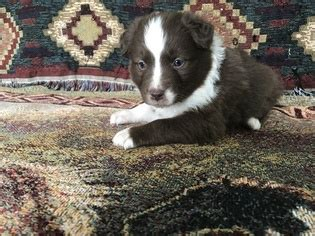 australian shepherd puppies for sale in tn view ad australian shepherd puppy for sale tennessee friendsville usa