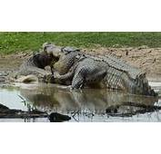 Saltwater Crocodile  Crocodylus Porosus