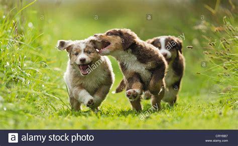 puppies running miniature australian shepherd three puppies running and grass stock photo