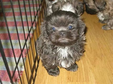 blue eyed shih tzu blue shihtzu shih tzu shih tzu and blue