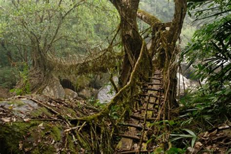 what is root bridge living bridges dusky s wonders