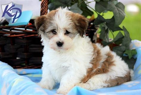 havanese clothes 39 best images about havanese puppies on dogs nu est jr and names