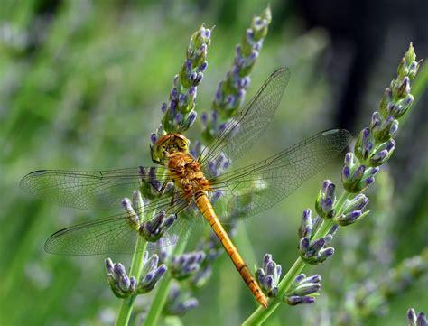 tutorial ali di libellula ali di libellula foto immagini macro e close up macro