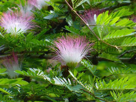 Bibit Bunga Kaliandra calliandra surinamensis
