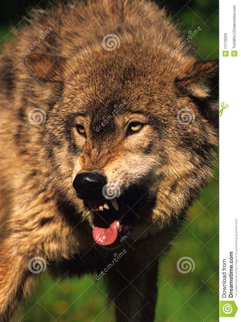 im 225 genes de un lobo gris im 225 genes y fotos lobo agresivo im 225 genes de archivo libres de regal 237 as