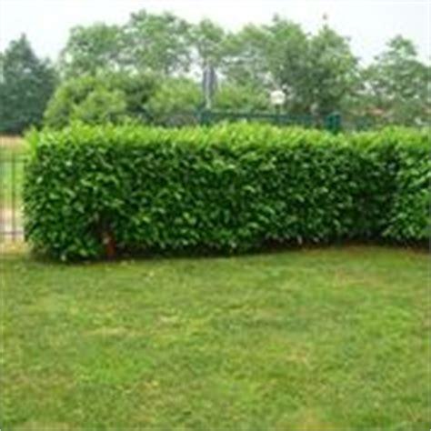 costo siepi da giardino piante da siepe prezzi siepi costi piante da siepe
