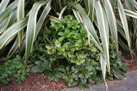 hellebore pruning how to and a cautionary tale north coast gardening