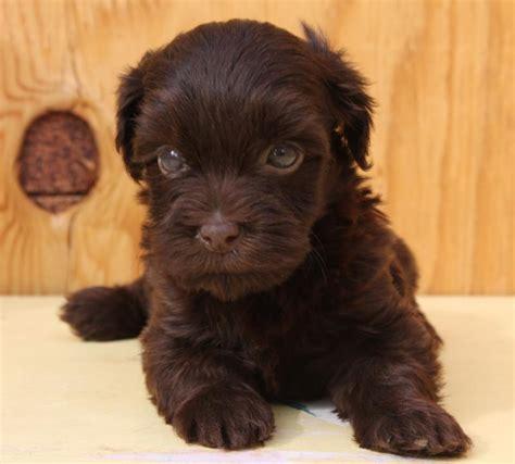 chocolate havanese florida akc havanese puppies chocolate havanese puppies akc havanese puppies breeds picture