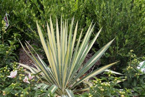 yucca color guard tree top nursery landscape inc