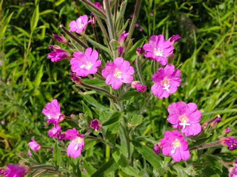 Identify Garden Flowers Help With Plant Identification Needed A Pink Flower With Stems Snaplant