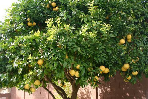 grape fruit tree grapefruit the best all around skin remedy by da ronda
