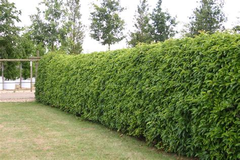 the best time to trim or prune trees hedging barcham