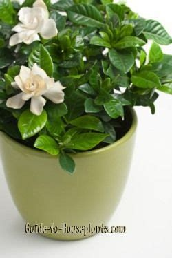 Gardenia Bud Drop 25 Best Ideas About Gardenia Bush On Gardenia
