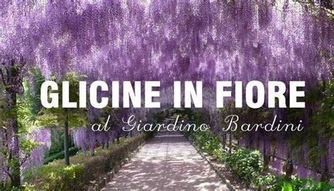 giardino in fiore glicine in fiore al giardino bardini villa bardini