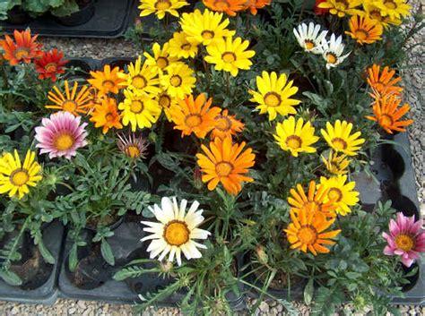 gazania fiore piante da vaso gazania gazanie gazania x hybrida