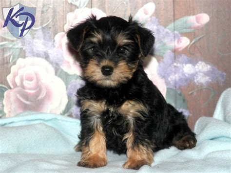 schnauzer yorkie mix snorkie puppies for sale in pa keystone puppies