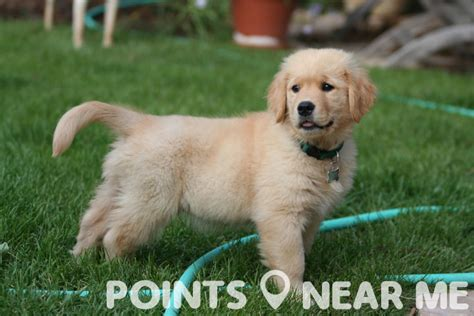 puppies for sale near me puppies for sale near me points near me