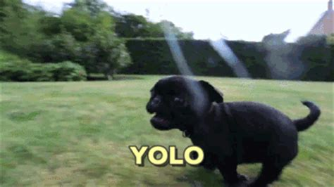 pug running gif puppy yolo gif find on giphy