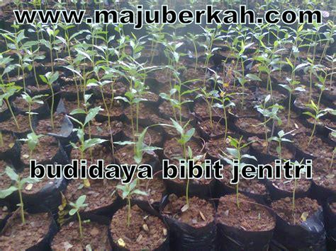 Bibit Pohon Pala Biji Bundar budidaya bibit jemitri tata cara budidaya bibit jemitri
