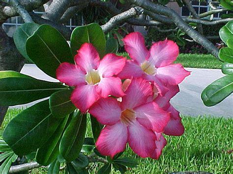 desert rose live plants 10 exclusive varieties adenium