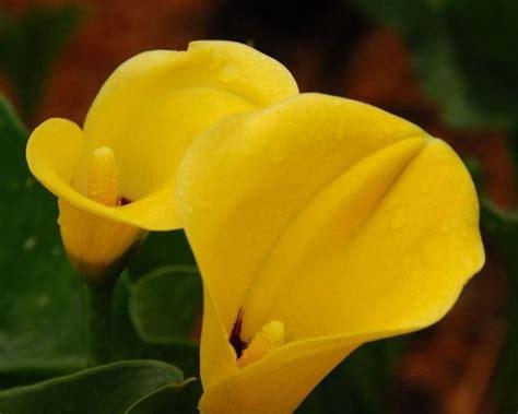 fiore di calla fiore calla fiori di piante calla fiore