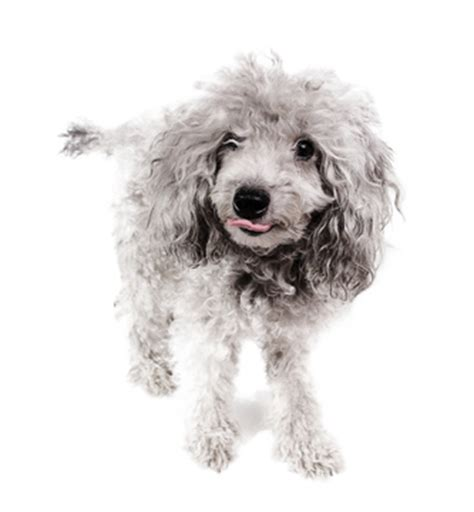 mini poodle information miniature poodle facts care the daily puppy