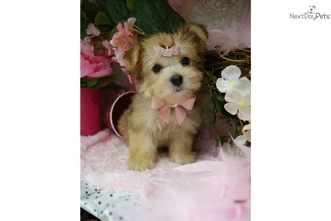 gold yorkie puppies terrier yorkie puppy for sale near fort lauderdale florida 90880aa5 7931