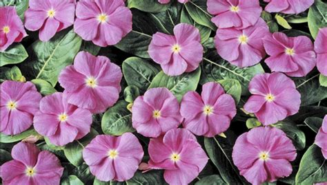 annuals buying guide