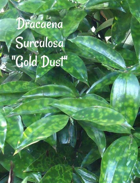 dracaena surculosa tips  growing dracaena gold dust plant