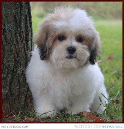 zuchon puppies petyourdog pet your a white colored zuchon puppy