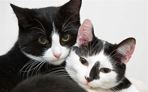 Do Black Cats Shed by Through Golden How Black And White Cats Get Their