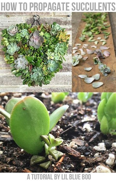 succulents how to grow and cuttings on pinterest
