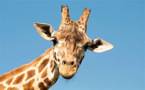 maison la girafe merveilleux lire un plan de maison 17 le cou de la