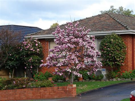 Decorative Trees For The Home by Ornamental Tree Care How To Use Ornamental Trees In