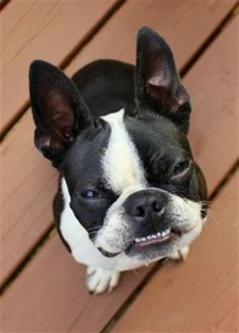 brown boston terrier puppies for sale brown boston terrier puppies for sale wallpaper