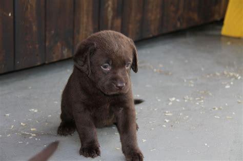 choclate lab puppy chocolate labrador puppies bristol bristol pets4homes