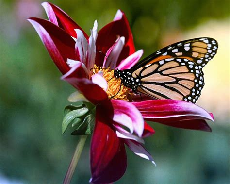 Free Pictures Of Flowers And Butterflies