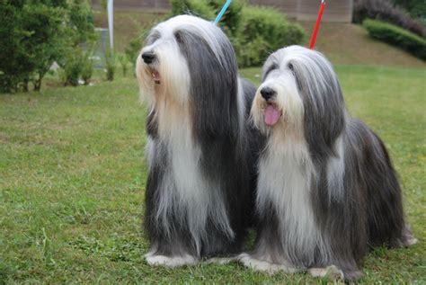 cuanto sale un chow chow perros peludos 5 razas con mucho pelo blog de mascotas