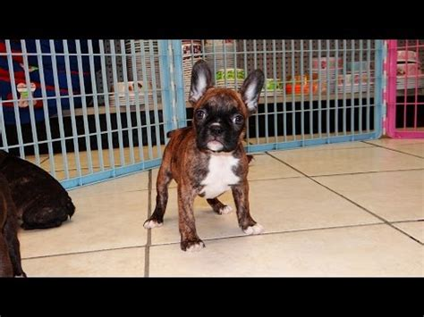 maltese puppies for sale in new orleans frenchton puppies for sale in new orleans louisiana la jefferson bayou blue