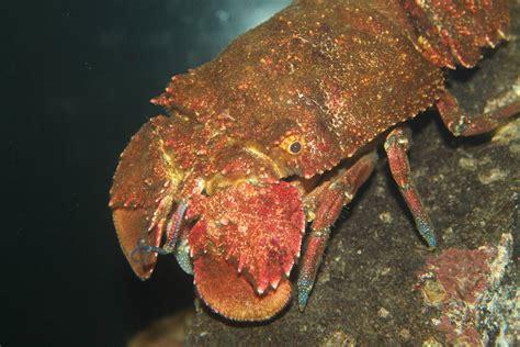slipper lobster slipper lobster arctites antipodum 187 tarltons
