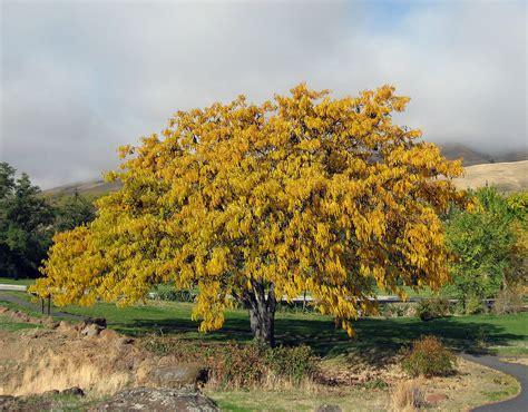 tree l honey locust