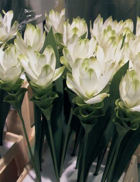 fiore curcuma fiori vari curcuma